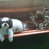 Pet Shih Tzu named Killer.<br /> <br /> Photographer's Name: Janet Huffman<br /> Photographer's City and State: Frankton, Ind.