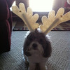 Our little reindeer, Chloe, she's such a good sport!<br /> <br /> Photographer's Name: Jama Jameson<br /> Photographer's City and State: Anderson, IN