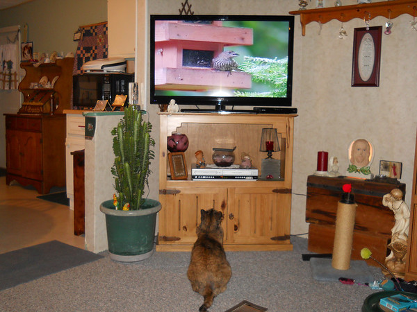 My cat Sissie watching T.V. That was a special video but as she is passing through the frontroom she stops and watches for a while.<br /> <br /> Photographer's Name: sandy hirschy<br /> Photographer's City and State: orestes, IN