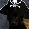 My dog, Captain Jack, ready for Talk Like A Pirate Day.<br /> <br /> Photographer's Name: J.R. Rosencrans<br /> Photographer's City and State: Alexandria, Ind.