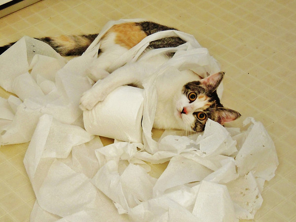 Kitty testing toilet paper ply strength ?<br /> <br /> Photographer's Name: Sharon Markle<br /> Photographer's City and State: Markleville, IN