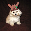 """A Christmas Blessing"" starring Gizmo as ""The Adorable Elf"" and Swiffer as ""The Rascally Reindeer""<br /> <br /> Photographer's Name: Cheryl Hardacre<br /> Photographer's City and State: Anderson, IN"
