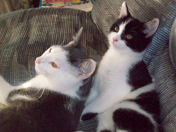 Our loving cats Howard and Hildey<br /> <br /> Photographer's Name: Alice Allen<br /> Photographer's City and State: Anderson, IN