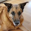 Beckham, an 11-year-old German Shepherd mix.