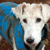 Alfred, a 12-year-old Fox Terrier mix.
