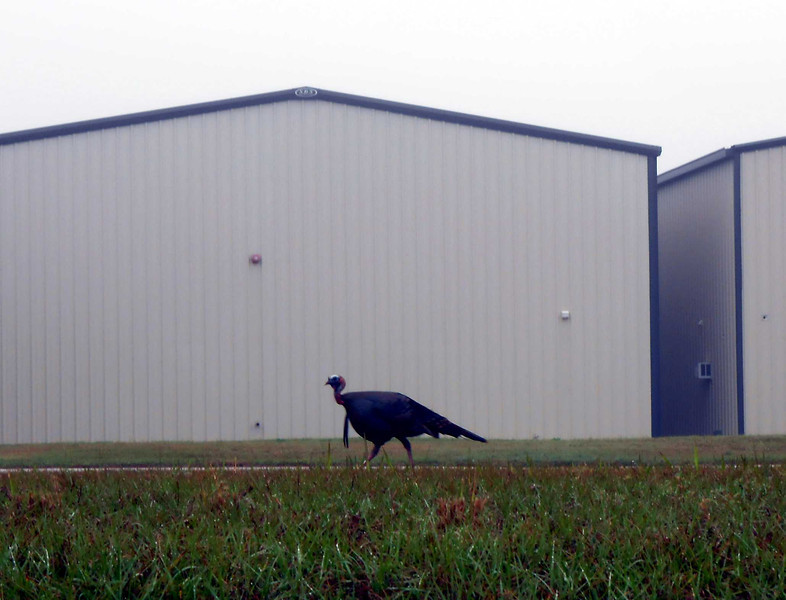 It was a foggy morning when we arrived at X04. This wild turkey was roaming around the airport.