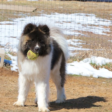 Moose the Long-haired Akita 7