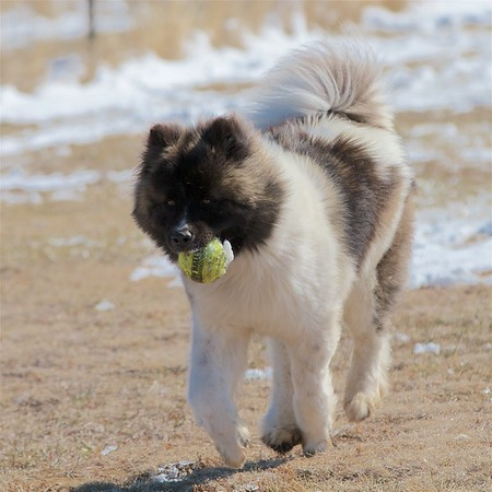 Moose the Long-haired Akita 21