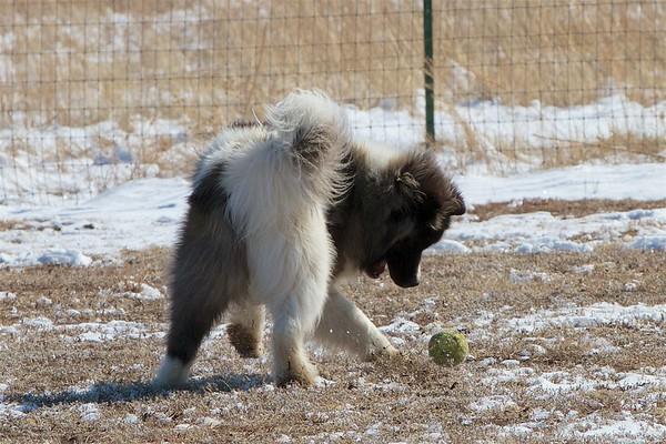 Moose the Long-haired Akita 2
