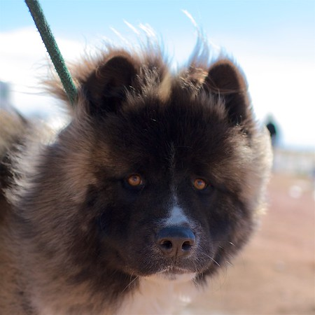Moose the Long-haired Akita 27