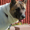 Jackson the Awesome Akita