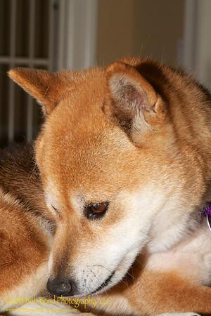 Hinata the Little Red Shiba