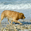 Golden Retriever Rex at Bailies Beach, Mattituck, NY