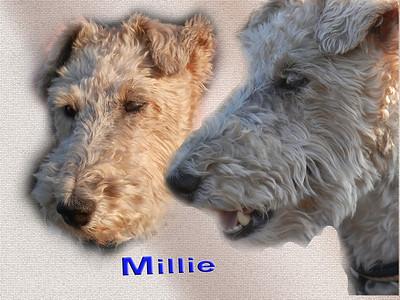 Millie the Fox Terrier