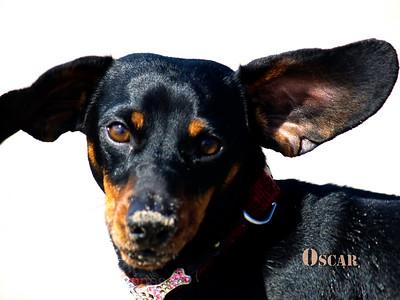 Oscar the Wiener Dog