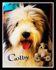 Colby, The Bearded Collie
