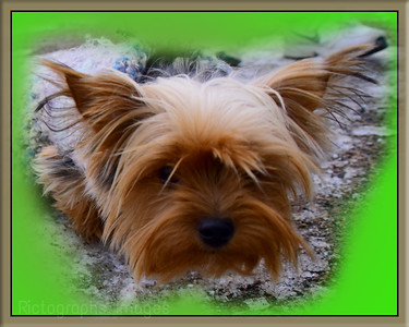 Pet Yorky, portrait 23
