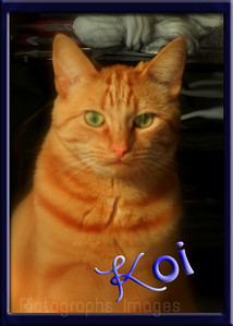 Koi The Rescued Cat