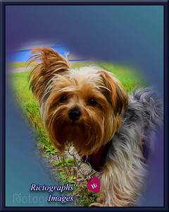 Yorky, Pet Dog,