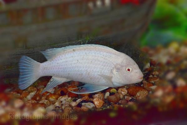 Aquarium Fish, Pet