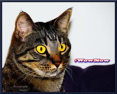WowNow Cat,