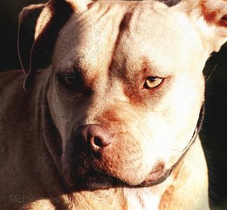 Rednose Pit Bulldog