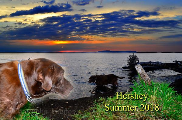 Hershey The Chocolate Labrador
