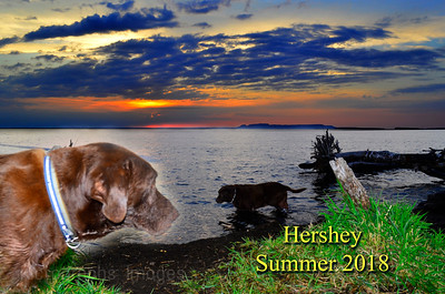 Hershey The Chocolate Labrador