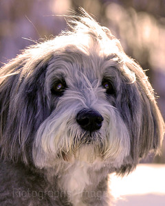 Halley the Bearded Collie              R.I.P.