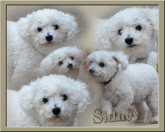 Sidney The Pet Dog