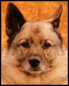 Bamse, The Pet Dog