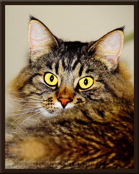 Pet Portrait, Cat,