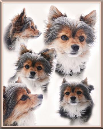 Sam The Pet Chorky Dog