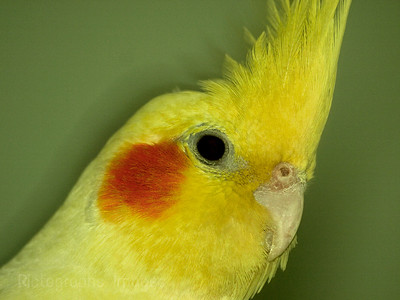Yellow Pet Bird