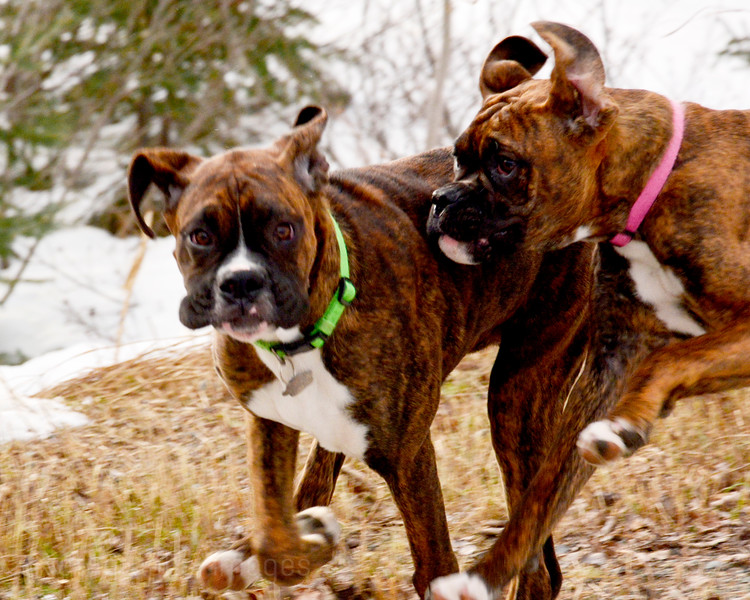 Boxer Dogs Playing Tag