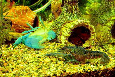 Blue Lobster, Shed Skin,