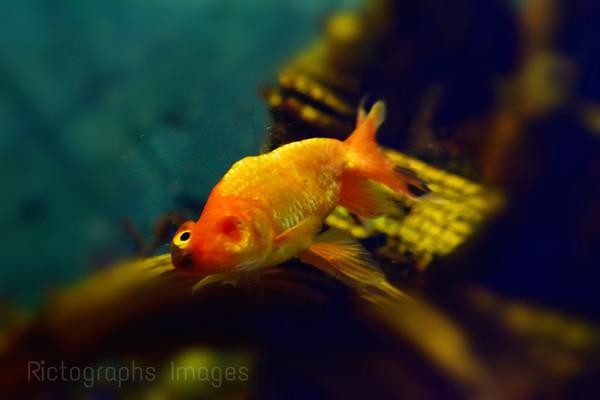 One Eye, Gold Fish