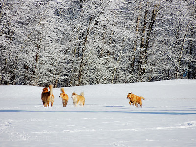 #Dogs Playing In Fresh Snow, Rictographs Images