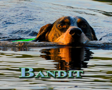 Bandit Swims For A StickSummer 2021
