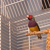 Larry Bird - Gouldian finch