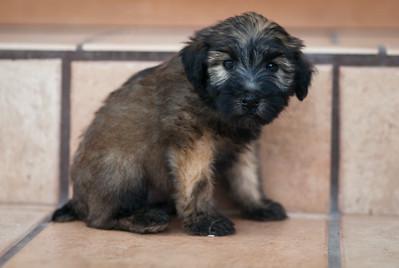 Ridire Wheaten Terriers-39