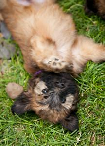 Ridire Wheaten Terriers-28