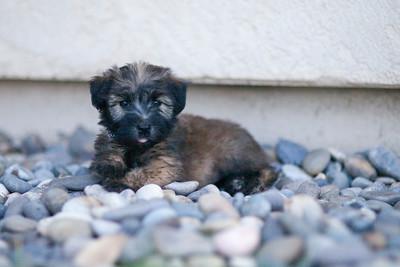 Ridire Wheaten Terriers-18