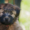 Ridire Wheaten Terriers-1