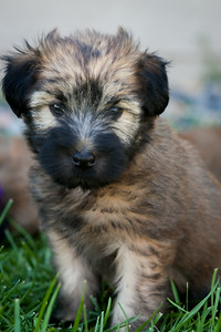 Ridire Wheaten Terriers-9