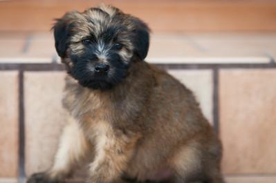 Ridire Wheaten Terriers-37