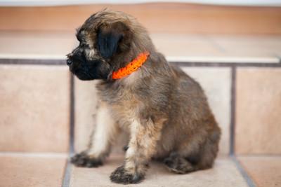 Ridire Wheaten Terriers-36