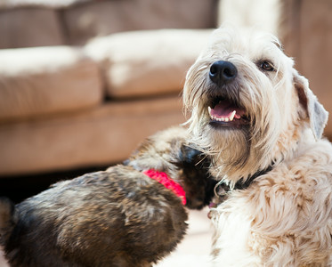Ridire Wheaten Terriers-31
