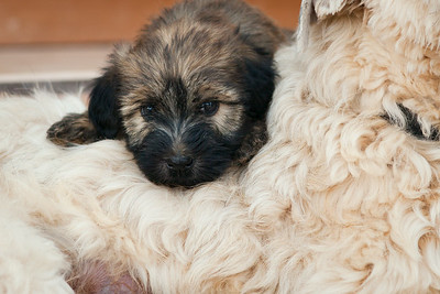 Ridire Wheaten Terriers-48