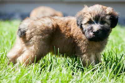 Ridire Wheaten Terriers-5